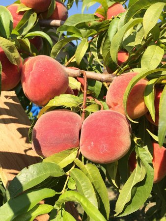 Retreat by the Lake : Garden peaches