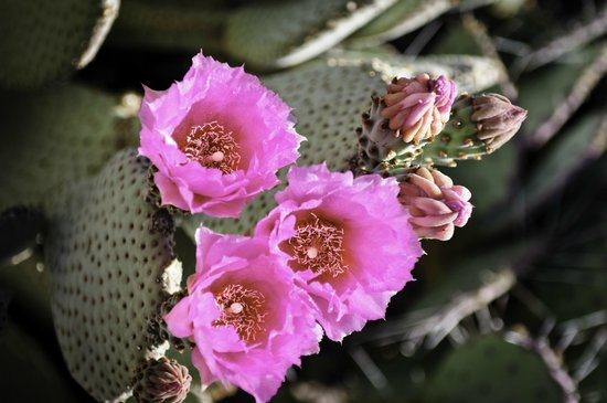 Desert Botanical Garden: DBG in Bloom, June 2014