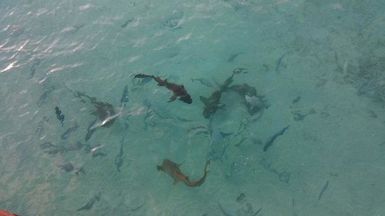The Sun Siyam Iru Fushi Maldives: Shark feeding