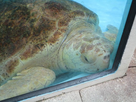 Loggerhead Marinelife Center: Turtle in recovering