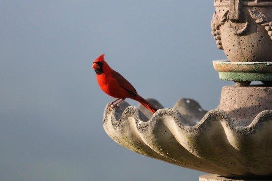 Belle Vue Kona B&B : Birds in the garden