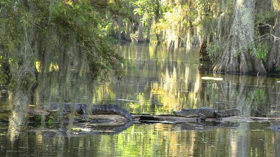 Champagne's Cajun Swamp Tours: THREE of these guys hanging out together.  Shewwwwwwwww!