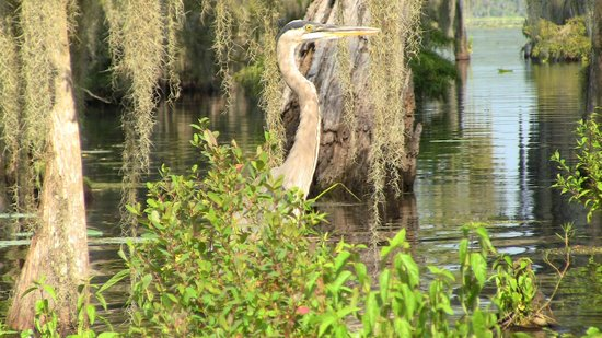 Champagne's Cajun Swamp Tours: Of course we couldn't get too close to these guys before they would fly away.