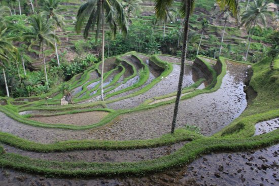 Tegalalang Rice Terrace: Rice terraces