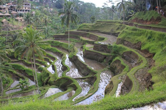 Tegalalang Rice Terrace: rice terraces
