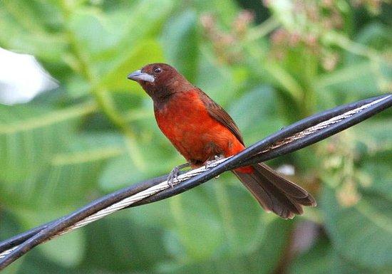 Manglar Lodge: Crimson-backed Tanager in the garden