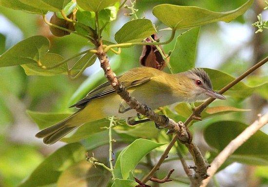 Manglar Lodge: Yellow-green Vireo in the garden