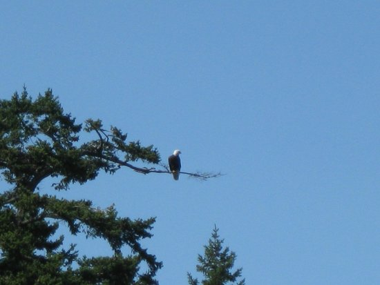 Orcas Island Eclipse Charters : Bald eagle.