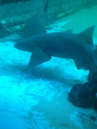 Clearwater Marine Aquarium: Shark