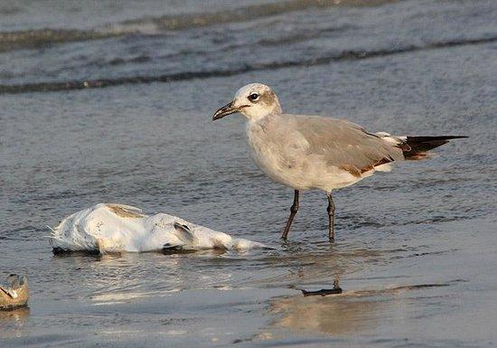 El Palmar Beach: Laughing Gull on the Beach