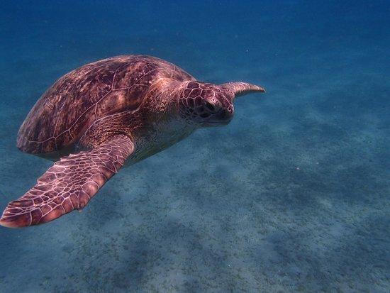 Hilton Marsa Alam Nubian Resort: Schildpad