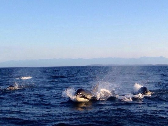 Eagle Wing Whale Watching Tours : Orca whales came so close!