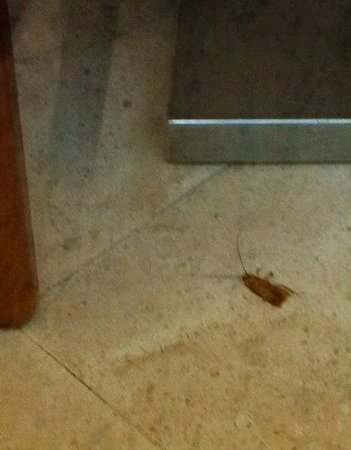 Belver Boa Vista Hotel & Spa: Cockroach in dining room