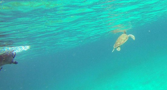New Horizons Day Sail: Sea turtle at Christmas Cove