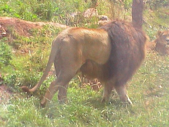 Safari Zoo: How close are the lions!