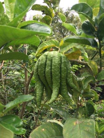 Hotel Atitlan: странный фрукт