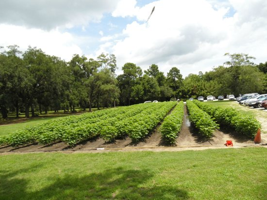 Boone Hall Plantation : The last of the cotton plants
