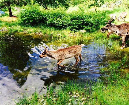 Running Reindeer Ranch: taking a dip in the pond
