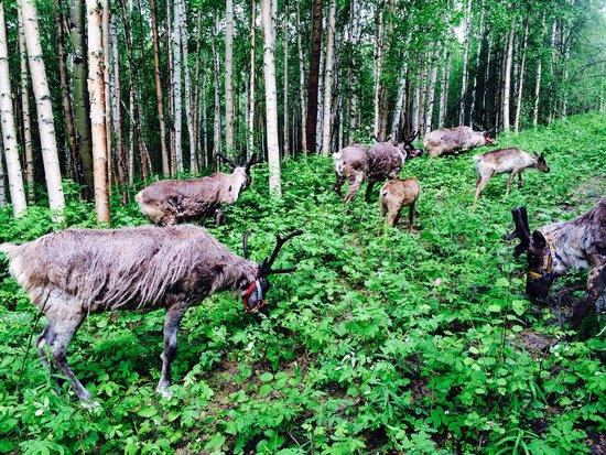 Running Reindeer Ranch: walking thru the woods with the reindeer