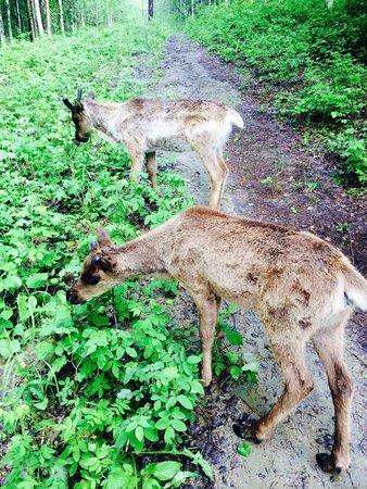 Running Reindeer Ranch: baby reindeer