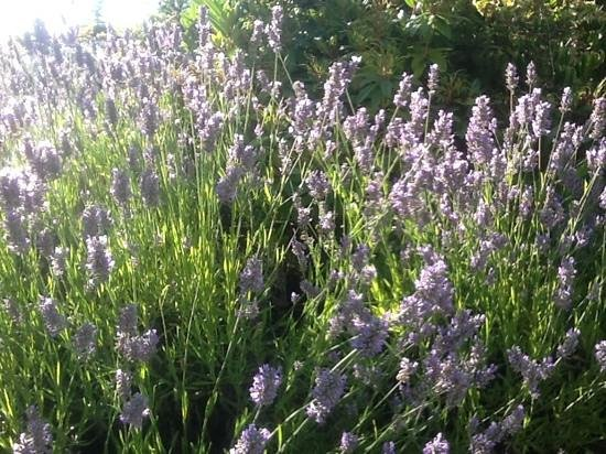 Trumpeter Inn: Lavender blesses the property with its beauty and its fragrance.