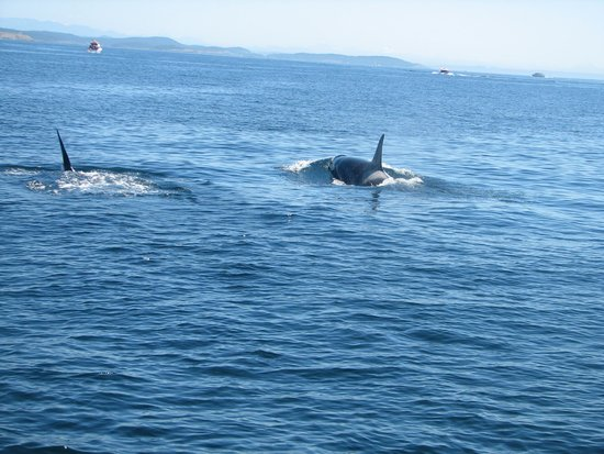 San Juan Safaris: Killer Whales