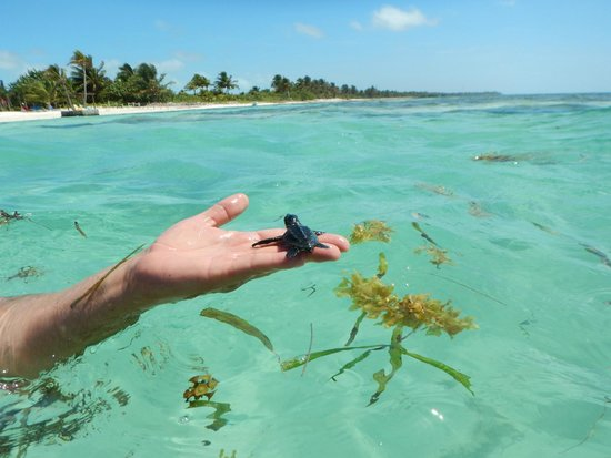 X'tan Ha Resort: Baby sea turtle swimming in front of the resort! We brought it to the reef.