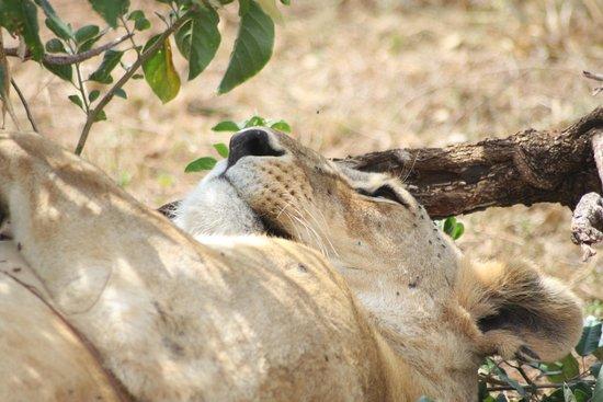 Cottar's 1920's Safari Camp: Lion relaxing