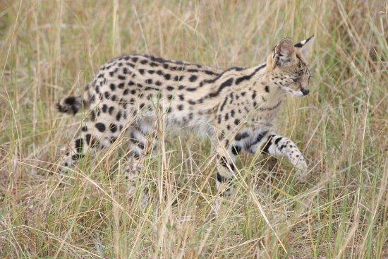 Cottar's 1920's Safari Camp: Serval Cat hunting
