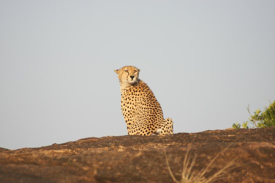 Cottar's 1920's Safari Camp: Sublime Cheetah