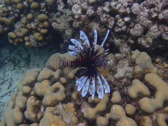 Sailing Blue Sky: Lion Fish ... I didn't know it was poisonous until after we got out