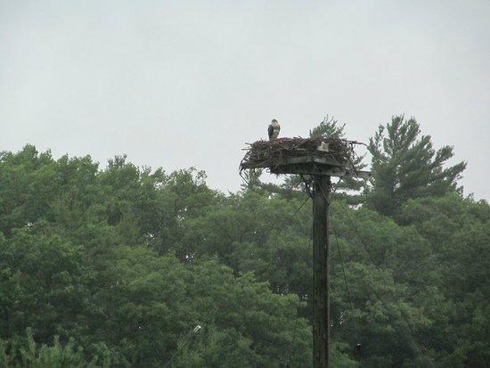 Island Queen Cruise : An Osprey bird in its nest.