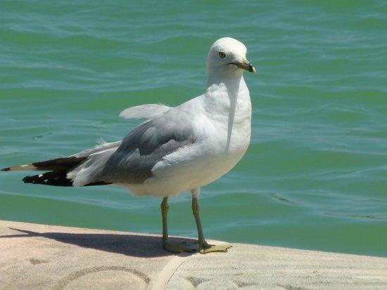 Buckingham Fountain: seagull at fountain