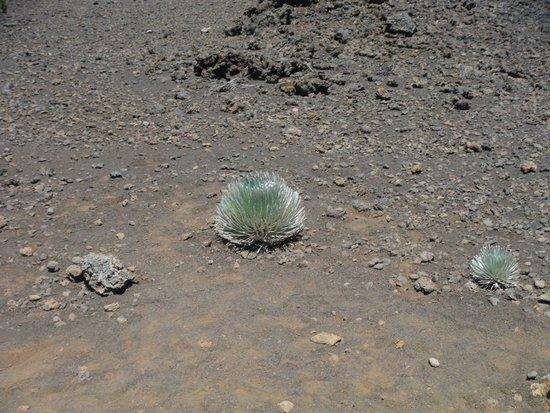 Haleakala Crater: Silver Sword endangered