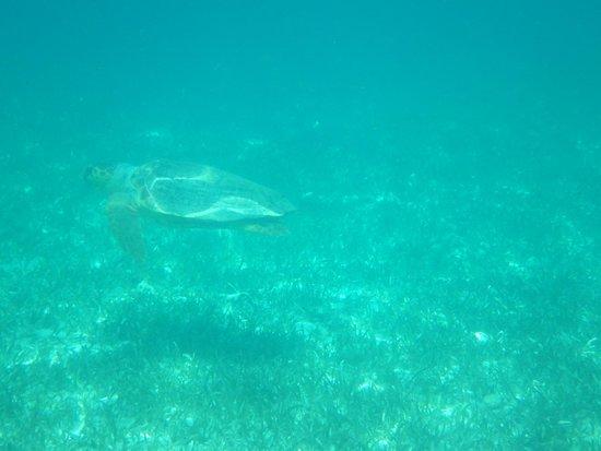 Reserva Marina Hol Chan: Sea turtle