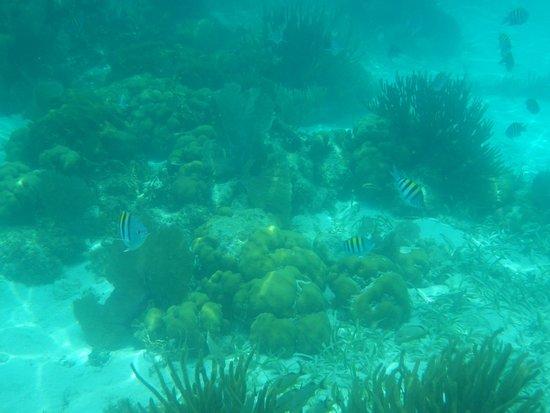 Reserva Marina Hol Chan: coral