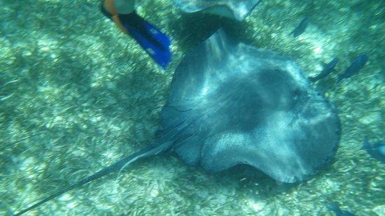 Hol Chan Marine Reserve: ray