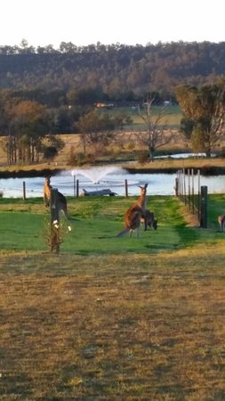 Bluebush Estate : Kangaroos at dusk