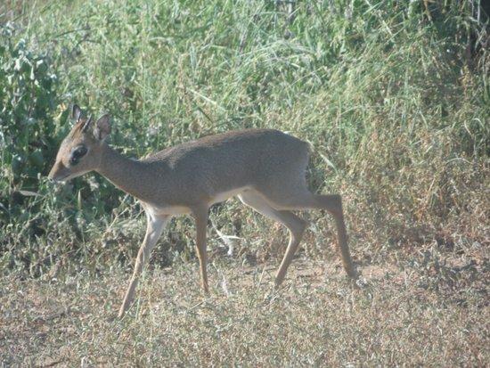 Tsavo East: the dik dik are adorable