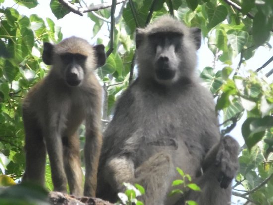 Ngulia Safari Lodge: lots of monkeys around to entertain
