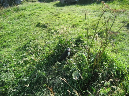 West Coast Tours - Oban: Puffins! Bold, volcal creatures!