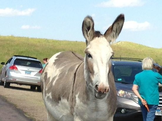 """Custer State Park : A """"Donkey Jam"""" on the road!"""