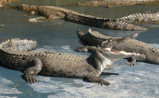 Hartley's Crocodile Adventures: at the croc farm.