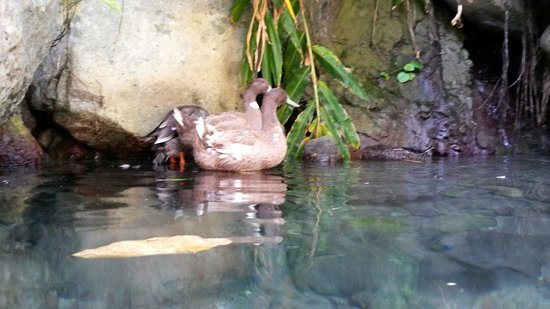 Serendipity Holistic Resort : Ducks in the river
