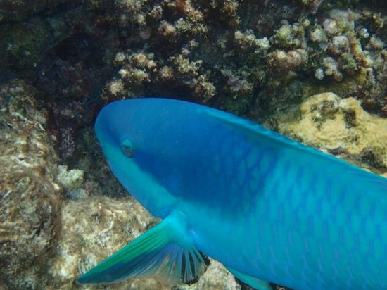 Wavelength Reef Charters: Parrot Fish
