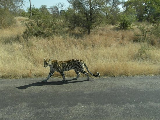 Motswari Private Game Reserve : spotted a leopard on the way to motswari