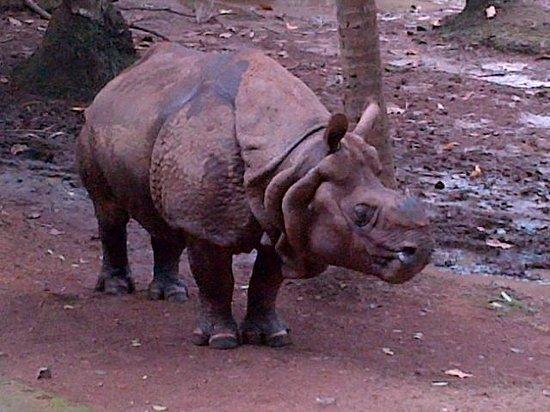 Thiruvananthapuram Zoo: rhino