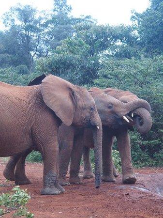David Sheldrick Wildlife Trust : the elephant orphanage