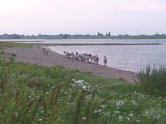 Oortjeshekken Hotel: Wild horses on an evening stroll from Oortjeshekken