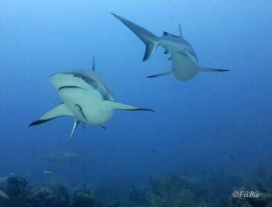 Tobri Divers : Tauchgang mit Haien